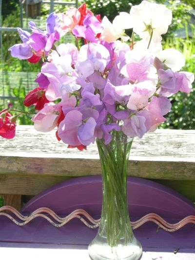 Sweet peas are finally flowering