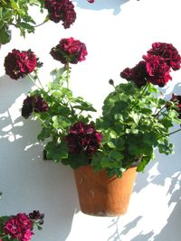 Pelargoniums flowering their heads off